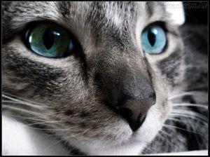 gato azul safira